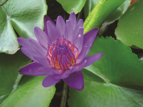 Thuốc quý từ những loài hoa của sông nước miền Tây - Ảnh 2.