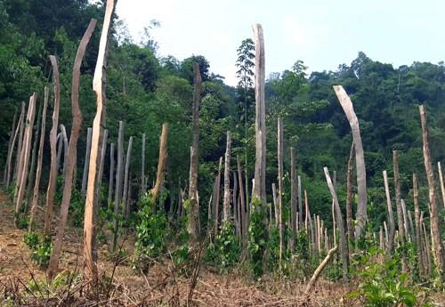 Tan hoang rừng phòng hộ ở Lâm Đồng - Ảnh 2.