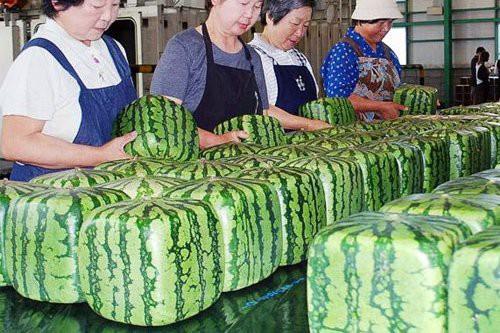 Dưa hấu vuông Nhật Bản xuất hiện ở Hà Nội: Giá chát 4,5 triệu đồng/quả - Ảnh 1.