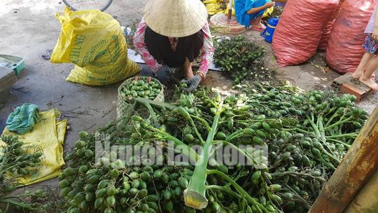 Cần Thơ: Thu mua cau non bán sang Trung Quốc làm kẹo?