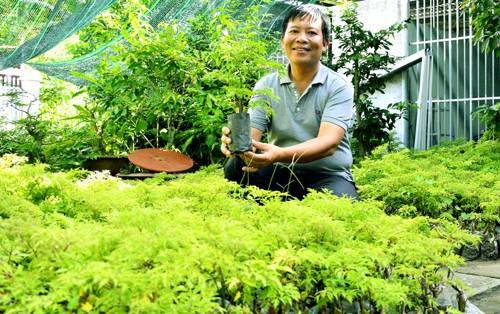 Lãi trăm triệu đồng nhờ trồng cây đinh lăng trong vườn nhà - Ảnh 1.