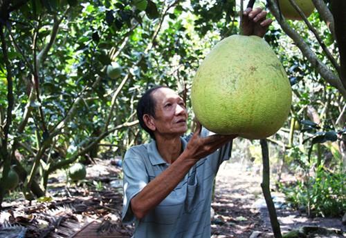 Bưởi khổng lồ 8 kg, giá một triệu đồng mỗi trái ở miền Tây - Ảnh 1.