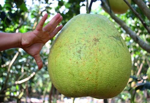 Bưởi khổng lồ 8 kg, giá một triệu đồng mỗi trái ở miền Tây - Ảnh 2.