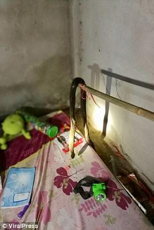 Hổ mang chui vào giường, bé gái 9 tuổi mất mạng - Ảnh 3.