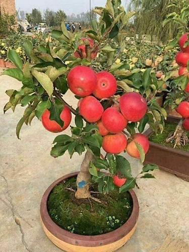 """""""Săn"""" táo bonsai trồng trong chậu cảnh chơi Tết - Ảnh 1."""