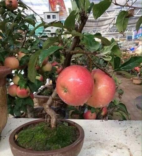 """""""Săn"""" táo bonsai trồng trong chậu cảnh chơi Tết - Ảnh 2."""