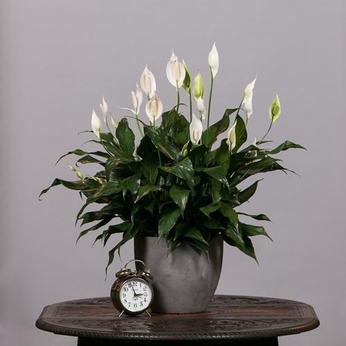 Chưng hoa gì vừa đẹp vừa tốt cho sức khỏe - Ảnh 2.
