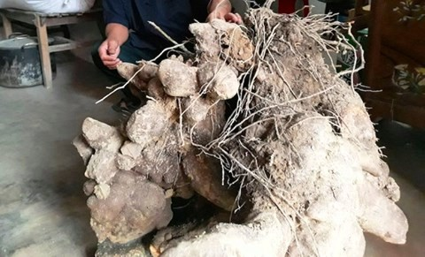 Chuyện lạ: Củ khoai khủng nặng gần 70kg ở Nghệ An - Ảnh 1.