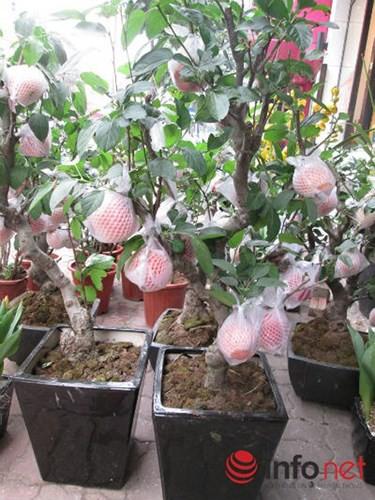"""""""Săn"""" táo bonsai trồng trong chậu cảnh chơi Tết - Ảnh 12."""