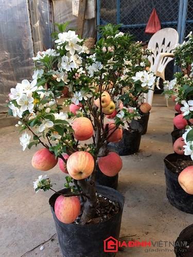 """""""Săn"""" táo bonsai trồng trong chậu cảnh chơi Tết - Ảnh 14."""