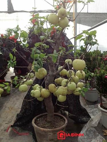 """""""Săn"""" táo bonsai trồng trong chậu cảnh chơi Tết - Ảnh 15."""