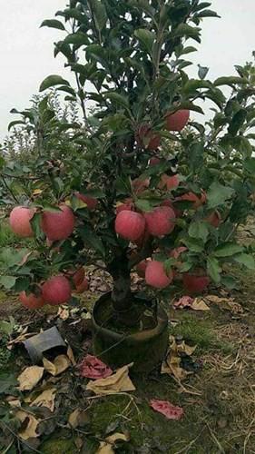 """""""Săn"""" táo bonsai trồng trong chậu cảnh chơi Tết - Ảnh 3."""