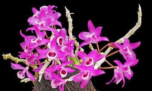 10 loại lan rừng đắt đỏ được ưa chuộng tại Việt Nam - Ảnh 3.
