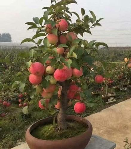 """""""Săn"""" táo bonsai trồng trong chậu cảnh chơi Tết - Ảnh 4."""