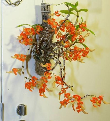 10 loại lan rừng đắt đỏ được ưa chuộng tại Việt Nam - Ảnh 4.