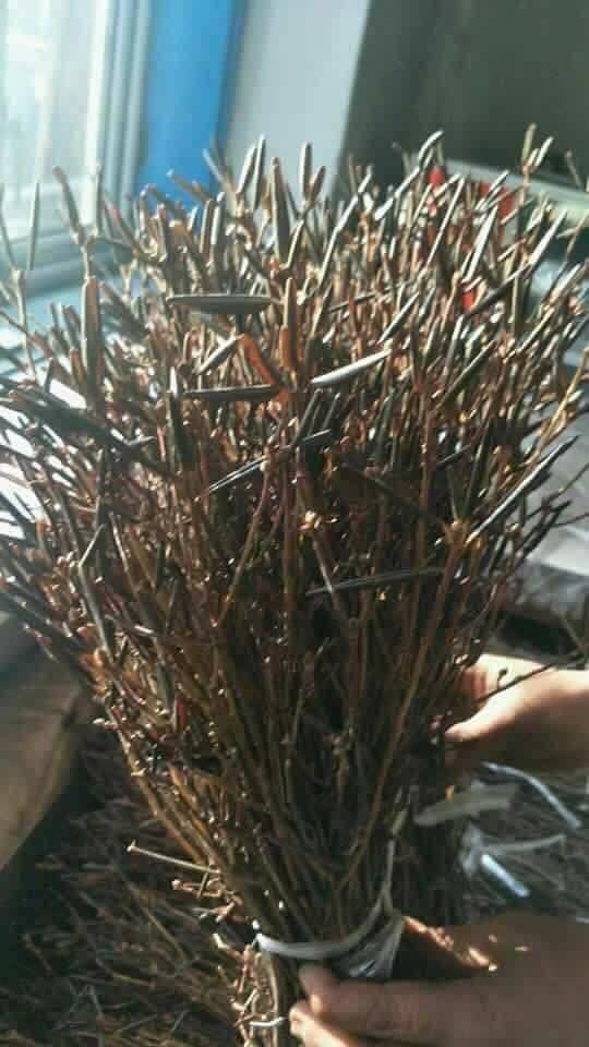 Hoa đỗ quyên ngủ đông cũng có độc tố - Ảnh 4.