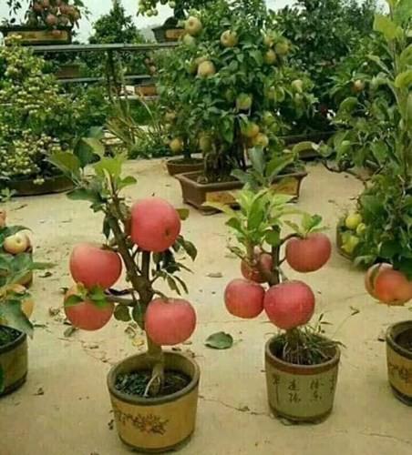 """""""Săn"""" táo bonsai trồng trong chậu cảnh chơi Tết - Ảnh 6."""