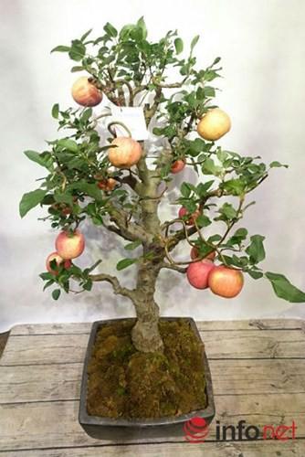 """""""Săn"""" táo bonsai trồng trong chậu cảnh chơi Tết - Ảnh 8."""