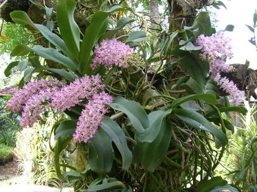 10 loại lan rừng đắt đỏ được ưa chuộng tại Việt Nam - Ảnh 9.