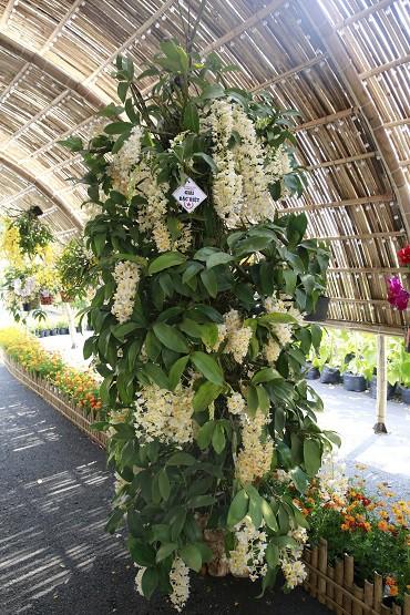 Cuộc thi Hoa Cảnh - Tôn vinh nét đẹp đặc sắc của các loài hoa kiểng Việt Nam - Ảnh 2.