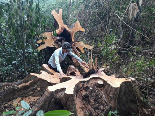 Trộm gỗ rừng tự nhiên, xóa trắng rừng phòng hộ - Ảnh 1.