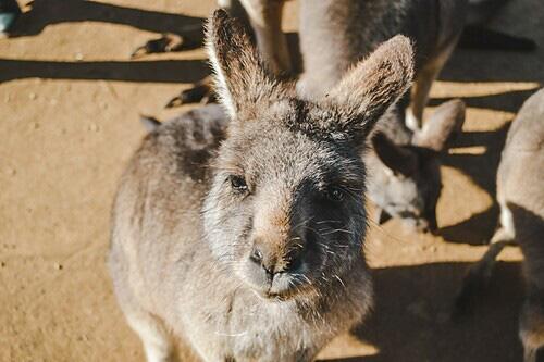 5 điểm đến để ngắm kangaroo - Ảnh 1.