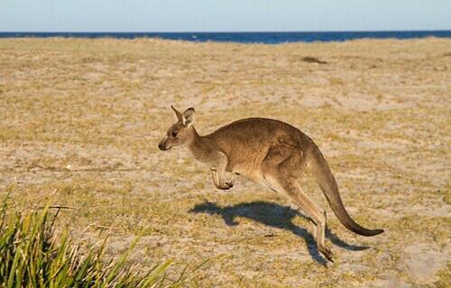 5 điểm đến để ngắm kangaroo - Ảnh 2.