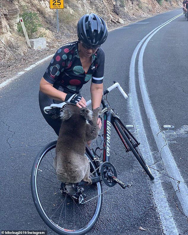 Gấu Koala tuyệt vọng dừng người đi xe đạp xin nước uống - Ảnh 2.