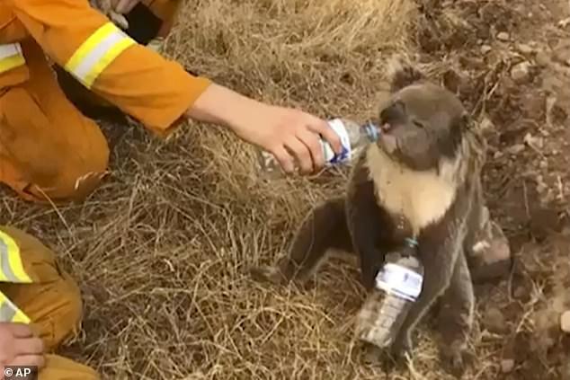 Gấu Koala tuyệt vọng dừng người đi xe đạp xin nước uống - Ảnh 3.
