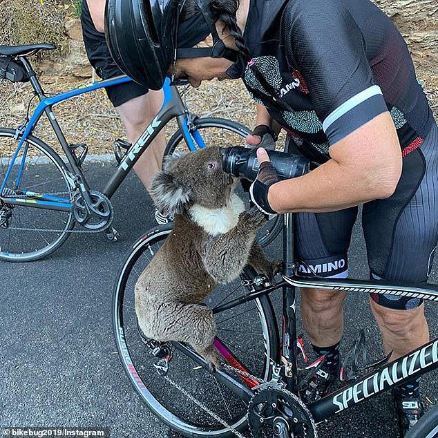Gấu Koala tuyệt vọng dừng người đi xe đạp xin nước uống - Ảnh 1.