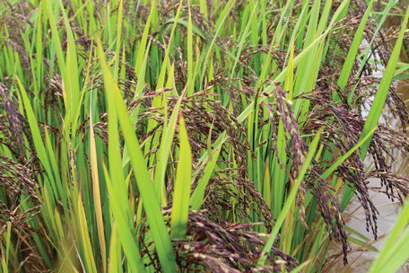 Lạ lùng với ruộng lúa tím, dùng nấm, la hán quả... phòng sâu bệnh - Ảnh 1.