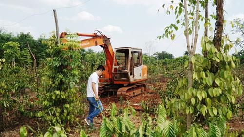 Người trồng tiêu, cà phê lỗ nặng vì bị...