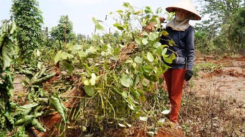Người trồng tiêu, cà phê lỗ nặng vì bị... bẻ kèo: Phát hiện nhiều sai phạm đất đai - Ảnh 1.