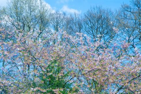 Chiêm ngưỡng vẻ đẹp hoa mùa xuân ở Bỉ - Ảnh 1.