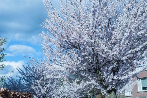 Chiêm ngưỡng vẻ đẹp hoa mùa xuân ở Bỉ - Ảnh 13.