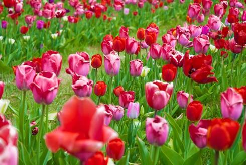 Chiêm ngưỡng vẻ đẹp hoa mùa xuân ở Bỉ - Ảnh 18.