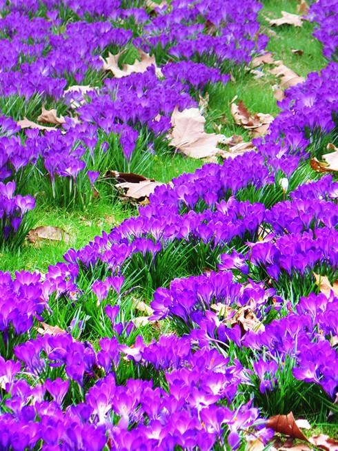 Chiêm ngưỡng vẻ đẹp hoa mùa xuân ở Bỉ - Ảnh 3.