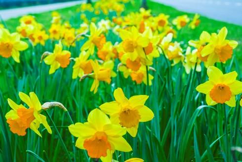 Chiêm ngưỡng vẻ đẹp hoa mùa xuân ở Bỉ - Ảnh 4.