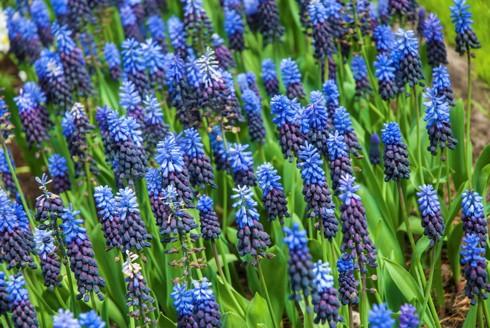 Chiêm ngưỡng vẻ đẹp hoa mùa xuân ở Bỉ - Ảnh 7.