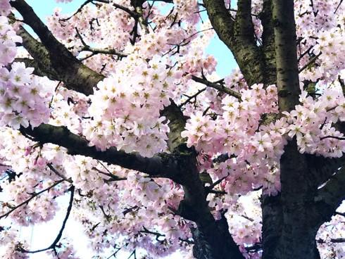 Chiêm ngưỡng vẻ đẹp hoa mùa xuân ở Bỉ - Ảnh 8.