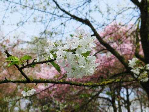 Chiêm ngưỡng vẻ đẹp hoa mùa xuân ở Bỉ - Ảnh 9.