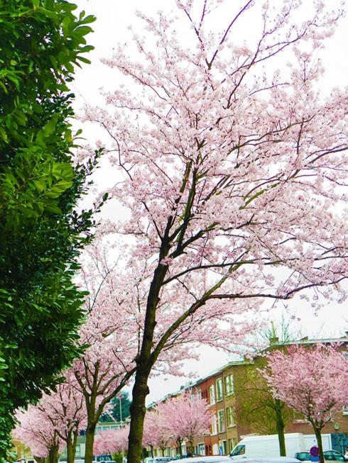 Chiêm ngưỡng vẻ đẹp hoa mùa xuân ở Bỉ - Ảnh 10.