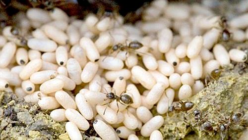 Nửa triệu đồng một kg trứng kiến gai đen - Ảnh 1.