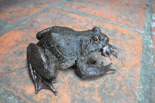 """Món ăn từ """"ếch đại gia"""" được xem là thần dược phòng the - Ảnh 1."""