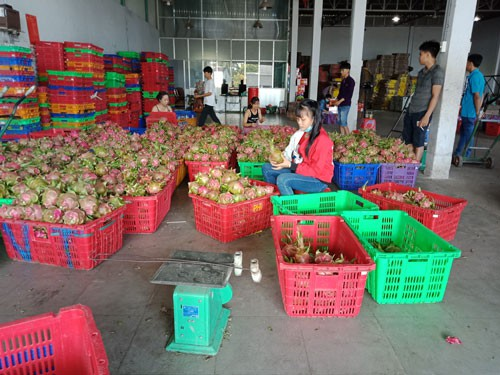 Thanh long Bình Thuận tăng giá đột biến - Ảnh 1.