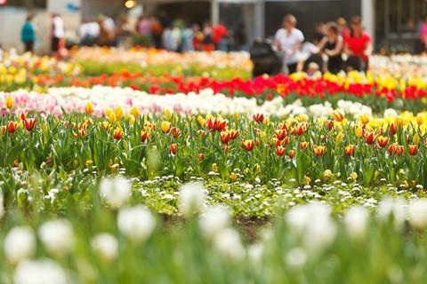 Tháng 8, đến Úc ngắm lễ hội hoa anh đào thần tiên đẹp kỳ ảo - Ảnh 2.
