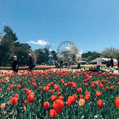 Tháng 8, đến Úc ngắm lễ hội hoa anh đào thần tiên đẹp kỳ ảo - Ảnh 17.