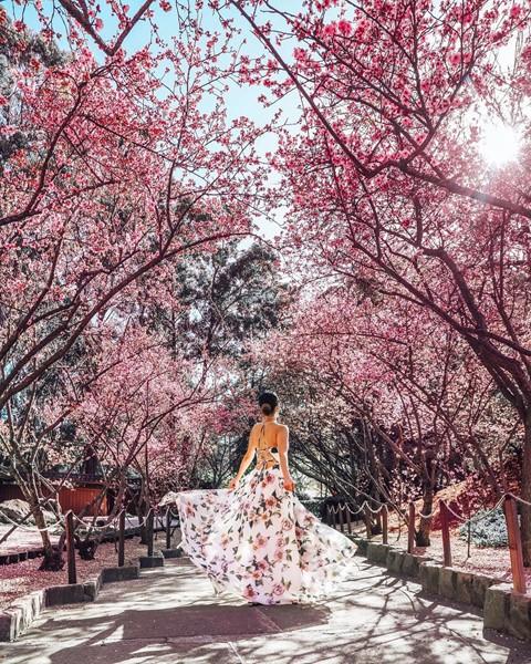 Tháng 8, đến Úc ngắm lễ hội hoa anh đào thần tiên đẹp kỳ ảo - Ảnh 9.