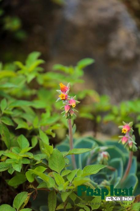 Hoa sen đá kì ảo trên đỉnh Fansipan - Ảnh 4.