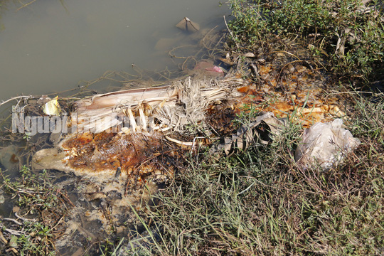 Quảng Nam: Giữa mùa dịch, xác heo thối vứt đầy kênh - Ảnh 5.